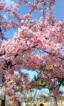 桜mukai